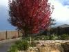 mature-tree-planting